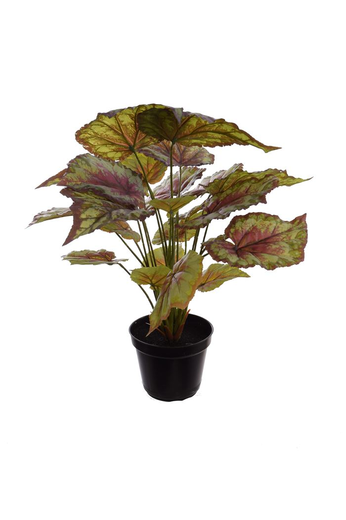 plant x 7 w/23 lvs in pot begonia red