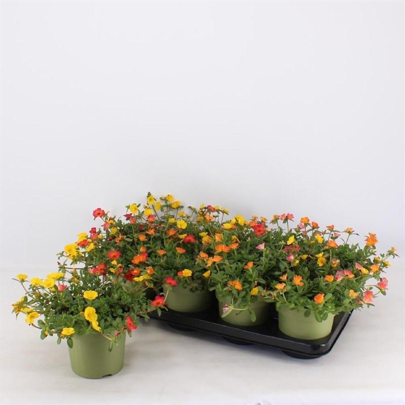 portulaca gemengd 3 kleuren in 1 pot (platte)