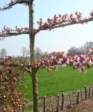 prunus cerasifera 'nigra' leischerm 150 x 120cm