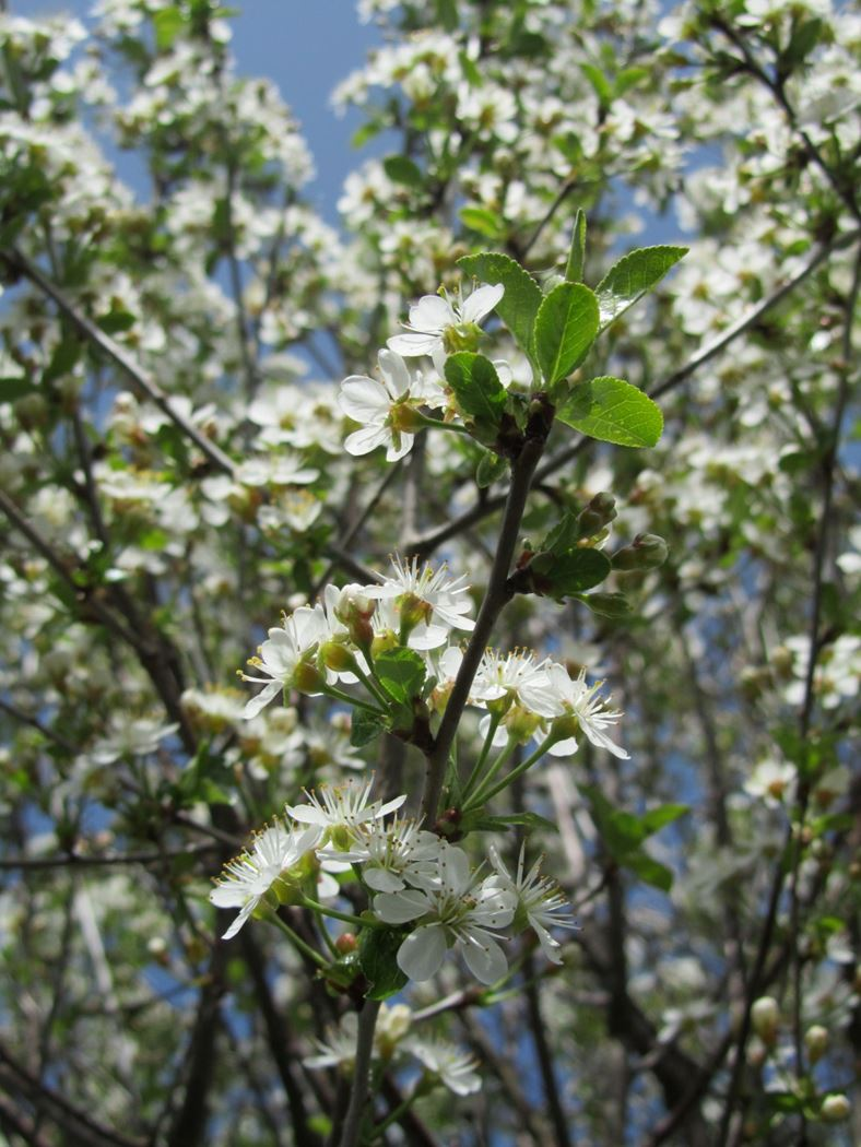 prunus fruticosa 'globosa'