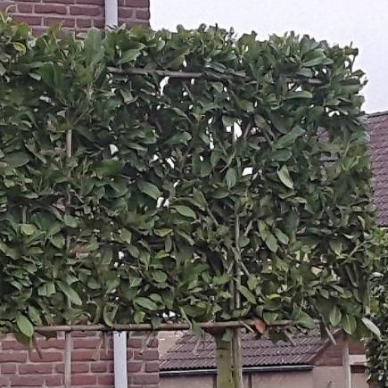 prunus laurocerasus 'novita' leivorm 150 x 120cm