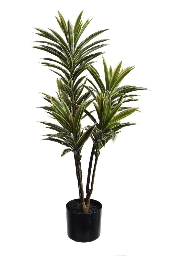 pure royal dracena plant in pot white green