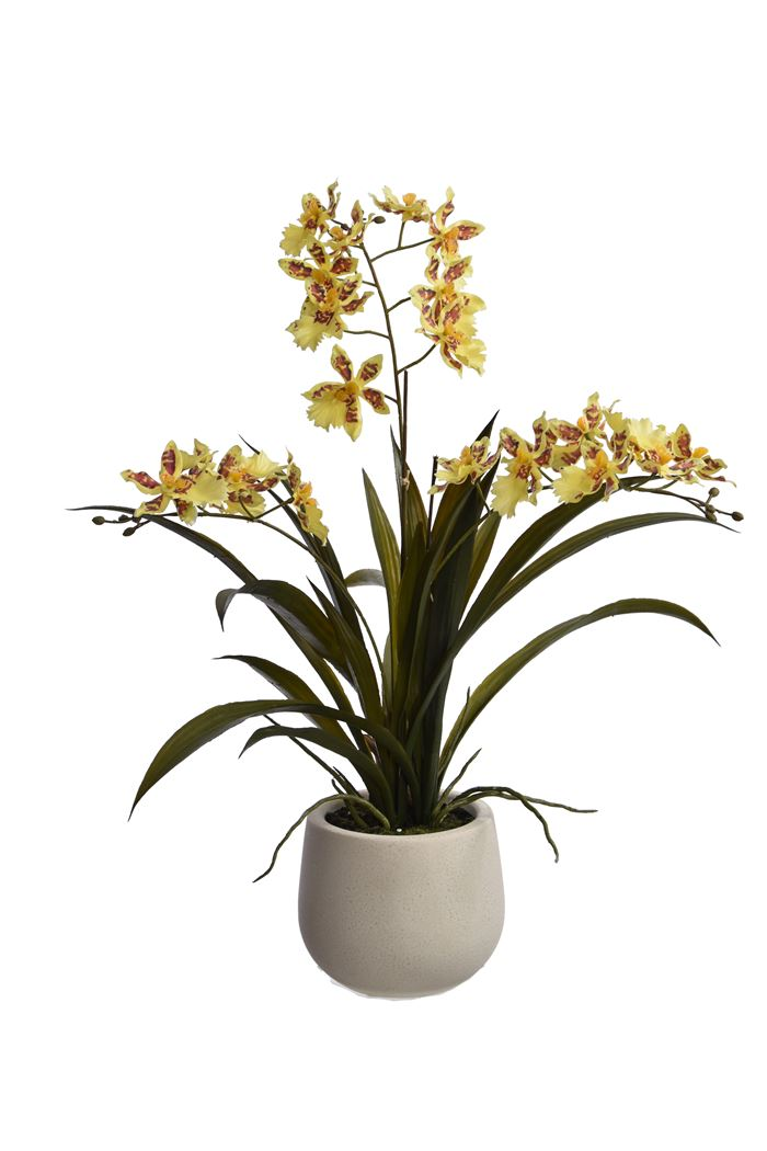 pure royal oncidium orcid spray x 3 in pot yellow