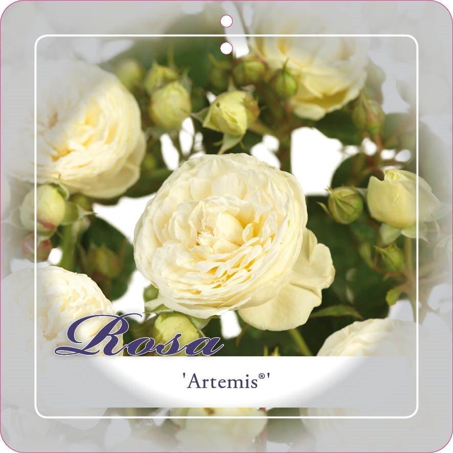 rosa 'artemis'