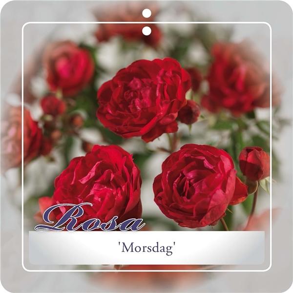 rosa 'morsdag' rood