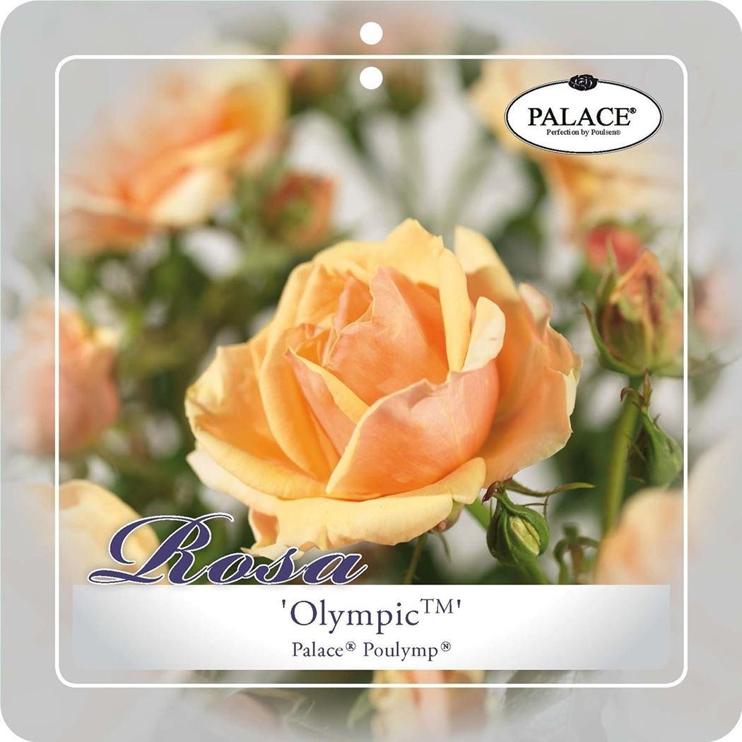 rosa 'olympic palace'