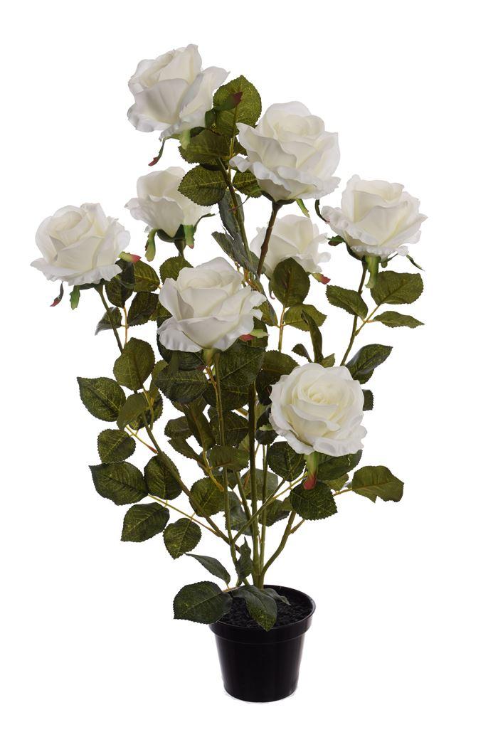 rose plant in pot cream