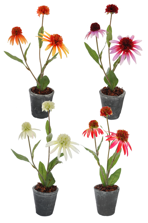 rudbeckia x 3 in pot 9 cm assorted