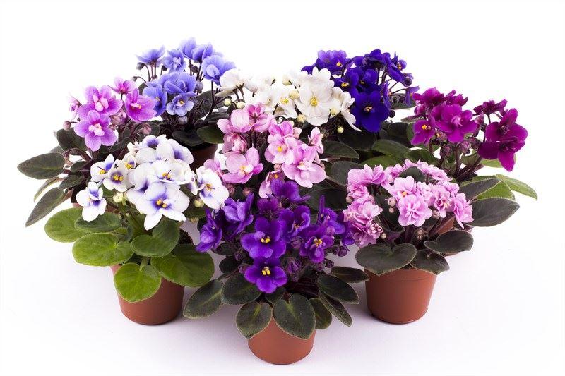 saintpaulia gemengd (kaaps viooltje)