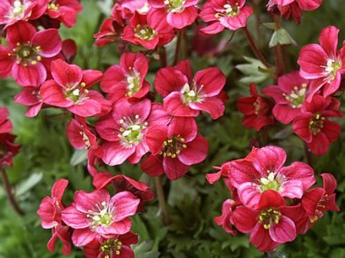 saxifraga arendsii rood