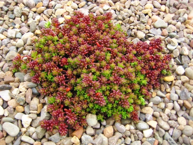 sedum album 'coral carpet'