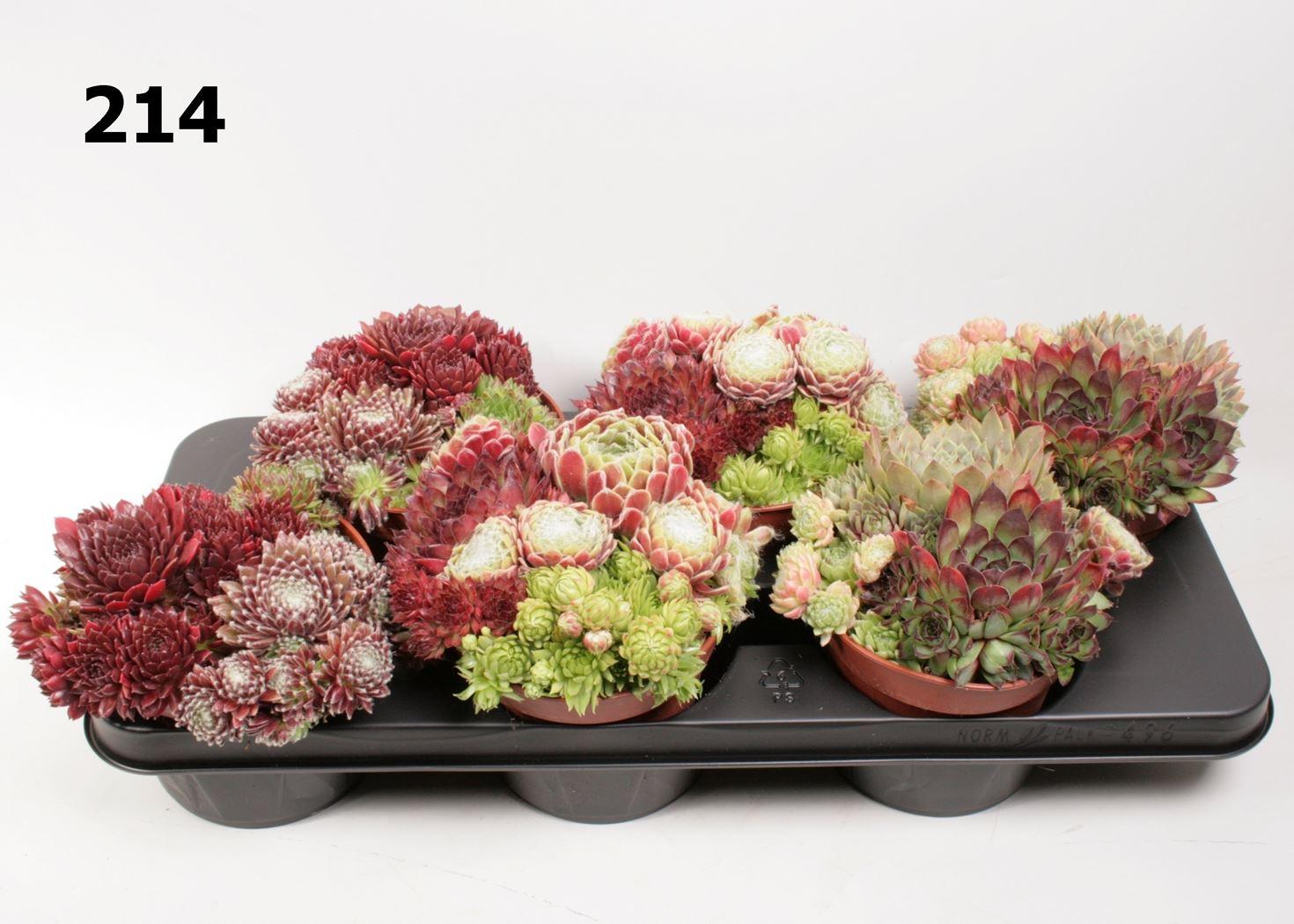 sempervivum tricolor