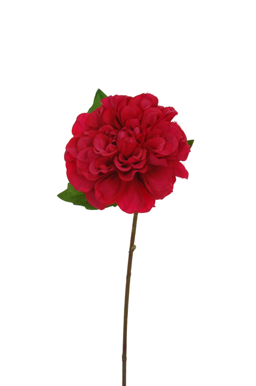 single dahlia beauty
