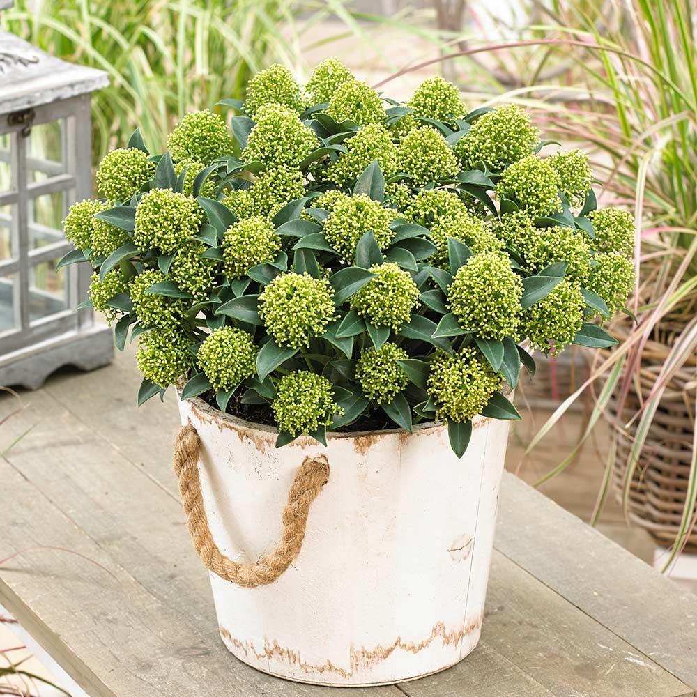 skimmia japonica 'white dwarf'®