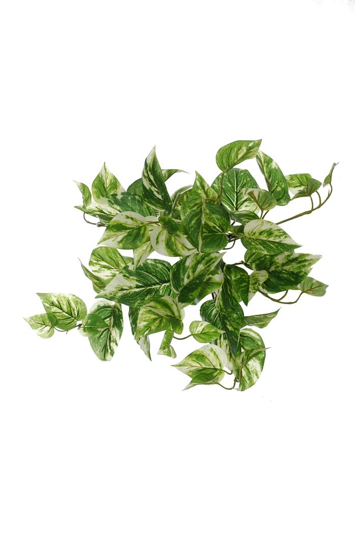 small leaves bush yellow green pothos