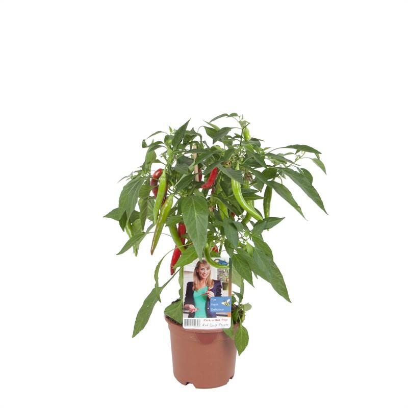 snacker peperplanten