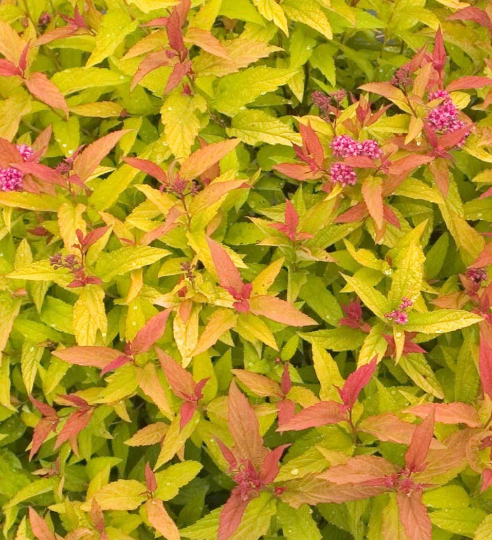 spiraea japonica 'double play big bang'®