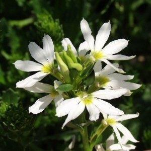 stekperkplant scaevola wit