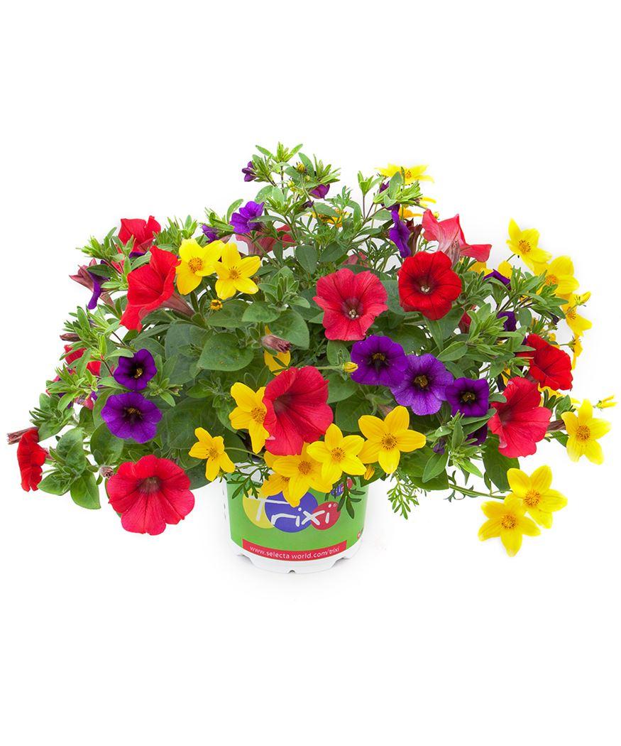 stekperkplant tricolor