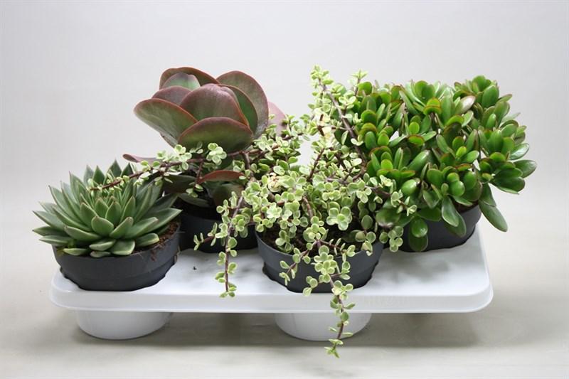 succulenten gemengd