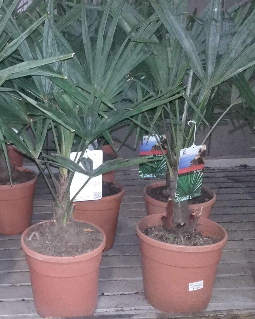 trachycarpus fortunei stamhoogte 80/100cm