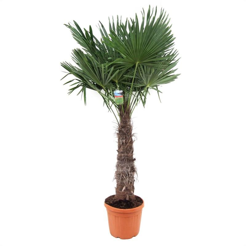 trachycarpus fortunei stamhoogte 70cm