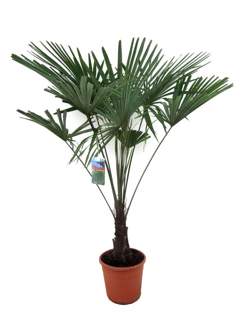 trachycarpus fortunei stamhoogte 35cm