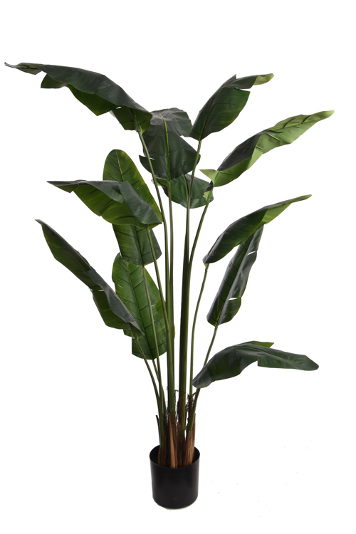 travellers palm with 12 leaves in pot green