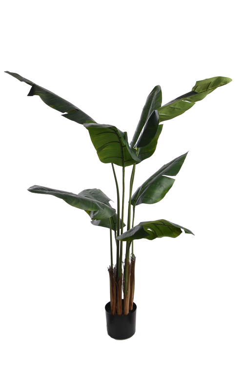 travellers palm with 8 leaves in pot green