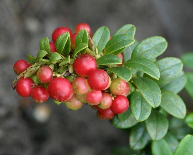 vaccinium vitis-idaea 'fireballs'®