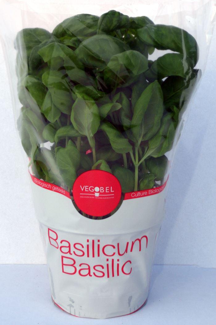 bio basilicum