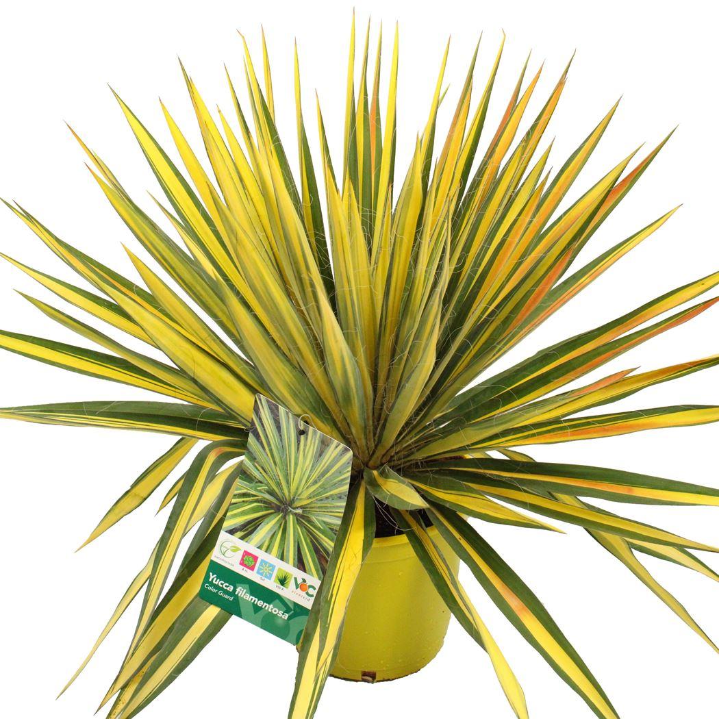 yucca filamentosa 'color quard'