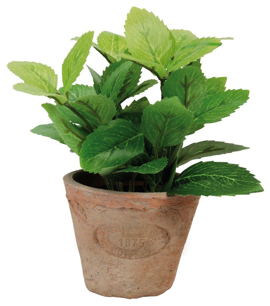 munt-in-aged-terracota-pot-s
