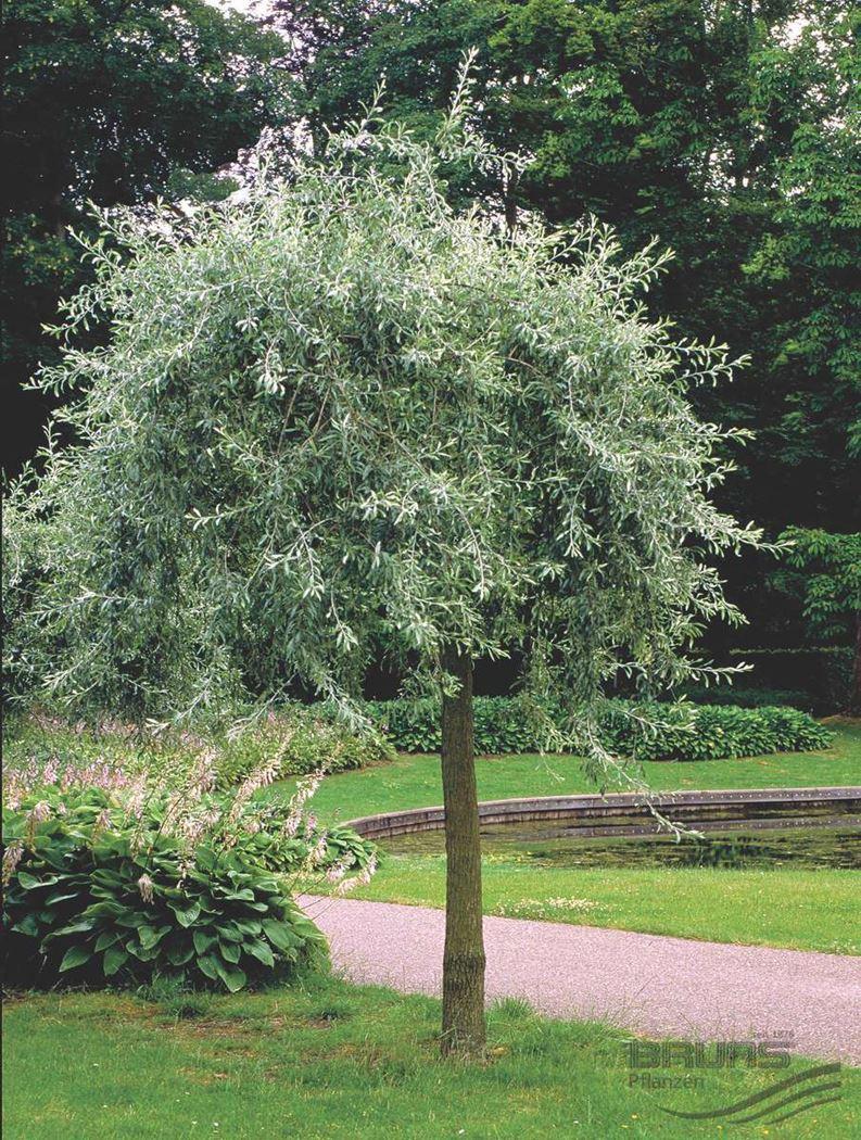 pyrus-salicifolia-pendula