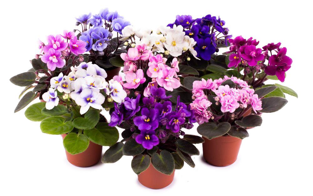 saintpaulia-gemengd-kaaps-viooltje
